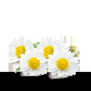 Thé-Blanc-_-Camomille-bio